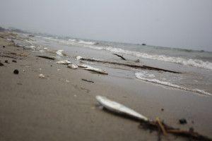 Cá chết dạt vào bờ biển Đà Nẵng khá lớn trong sáng 29-4. Ảnh nld.com